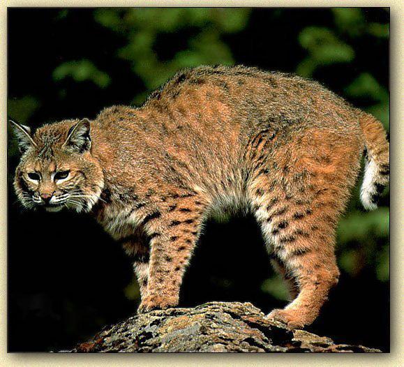 wildcat on rock